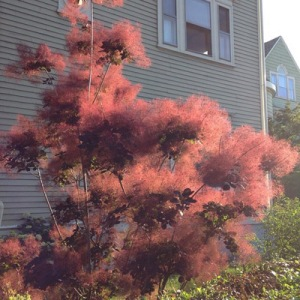 Smokebush. An Object Lesson in Transparency.